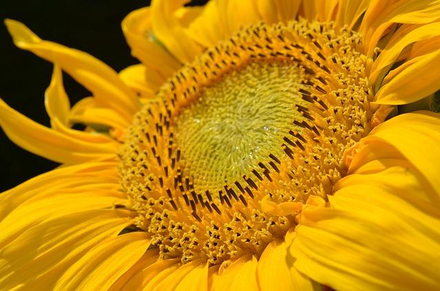 Sarı yellow