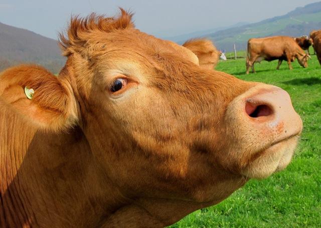 корова krowa karvė kráva крава krava карова