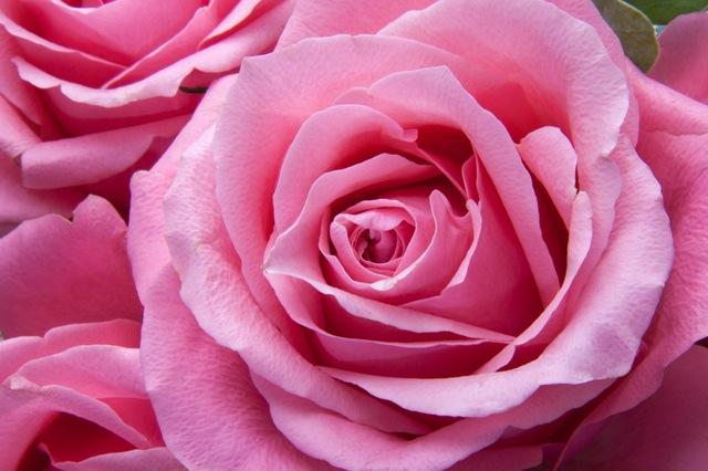 Ròxa Рожевий Rožnat Ružová Ружичаста Розовый Róż Розов Rösa Rožinė Roseus Roz