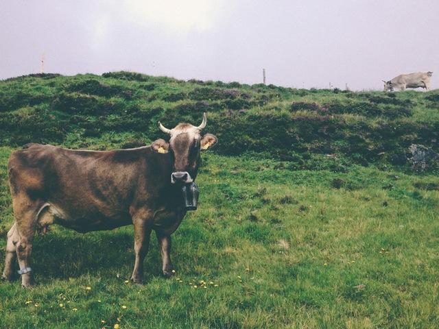 koei гов ko bhò cou گاو ku govs kýr Kuh cow koe կով