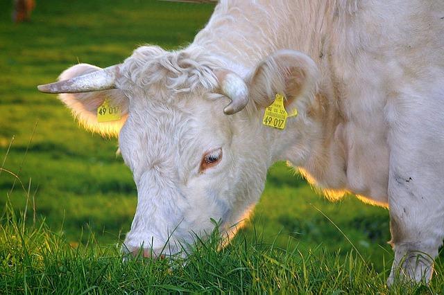 muccà mucca