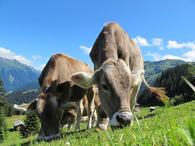 vacca vacă Vaque Baca àca vaka vache Vacâ Vaca